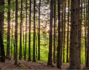 Sunlight sparkling between Tree Trunks in Forest